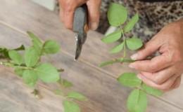 Instructions pour les jardiniers débutants: comment propager une rose grimpante avec des boutures en été par étapes