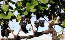 Instructions pour les vignerons débutants: comment multiplier les raisins par superposition en été