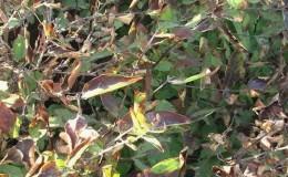 Que faire si le chèvrefeuille sèche dans le jardin et pourquoi