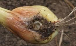 Les remèdes les plus efficaces contre les parasites: comment traiter les oignons contre les vers et comment le faire correctement