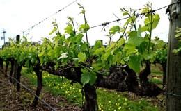 Entretien des raisins d'été: travaux viticoles essentiels et conseils de vignerons expérimentés