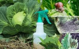 Come diluire l'ammoniaca e trattare il cavolo con esso dai parassiti