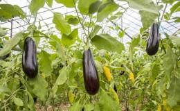 Une sélection des meilleures variétés d'aubergines pour une serre en polycarbonate