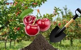 Guide de greffe de cerisier d'été pour les jardiniers débutants