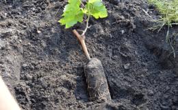 Instructions pas à pas pour planter des plants de raisin en été pour les vignerons débutants