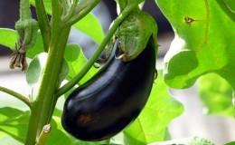 Quand retirer les aubergines d'un buisson dans une serre et un champ ouvert et comment stocker les cultures