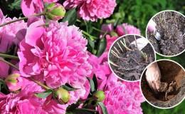 Quand est-il nécessaire de transplanter des pivoines à un autre endroit en été et comment le réaliser correctement
