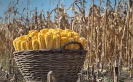 Qual è la resa di mais per ettaro: media, influenza del tipo di varietà o ibrido e altri fattori