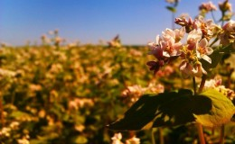 Dans quels pays le sarrasin est cultivé et aime manger, et aussi où pousse le meilleur sarrasin