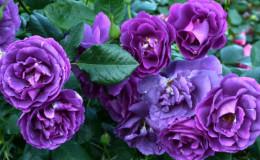 Comment faire pousser des roses violettes et quelles variétés choisir