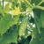 Pourquoi des taches brunes apparaissent sur les feuilles de concombre et que faire pour s'en débarrasser
