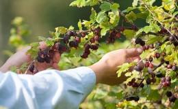 Regole per la cura dell'uva spina dopo la raccolta in luglio e agosto