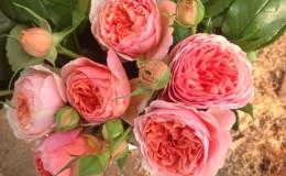 Les meilleures variétés de roses résistantes à l'hiver qui fleurissent tout l'été et les particularités de leur culture