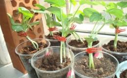 Schemi e sottigliezze dell'innesto di anguria su una zucca