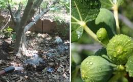 Combien et à quelle fréquence arroser les figues en été: instructions pour les débutants
