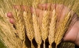 Tutto sulla coltivazione del grano primaverile: tecnologia di coltivazione dalla semina alla raccolta