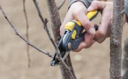 Quand tailler les cerises à l'automne et comment bien faire les choses