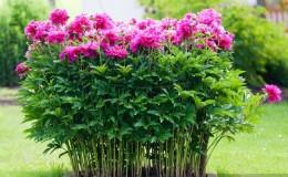 Instructions étape par étape pour planter des pivoines en été dans le sol pour les fleuristes débutants
