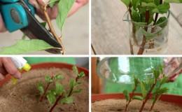 Reproduction de spirée par boutures en été pour les débutants: méthodes d'enracinement et autres actions