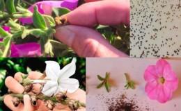 Comment récolter correctement les graines de pétunia à la maison