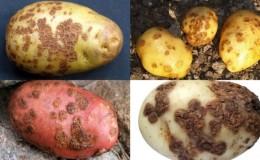 Descrizioni dettagliate e trattamenti efficaci per le malattie della patata