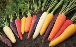 Carottes - de quel type de plante il s'agit, combien il pèse, en quoi il consiste - tout sur les carottes