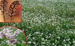 Comment semer du sarrasin dans la région de Kemerovo: timing et taux de semis optimaux