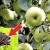 Fertiliser correctement le jardin: comment nourrir un pommier en juillet pour une bonne récolte