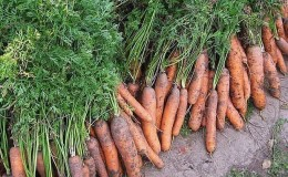 Les meilleures variétés de carottes - photos et descriptions détaillées, avis