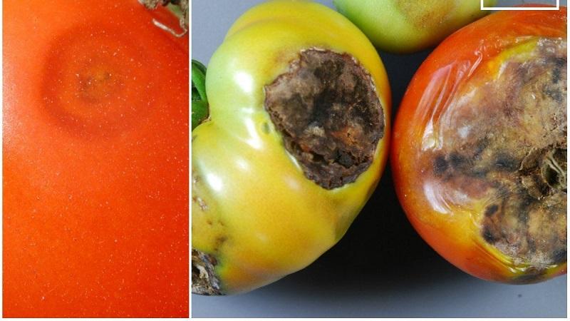 Cosa fare se compaiono macchie marroni sui pomodori: foto dei pomodori interessati e modi per salvarli