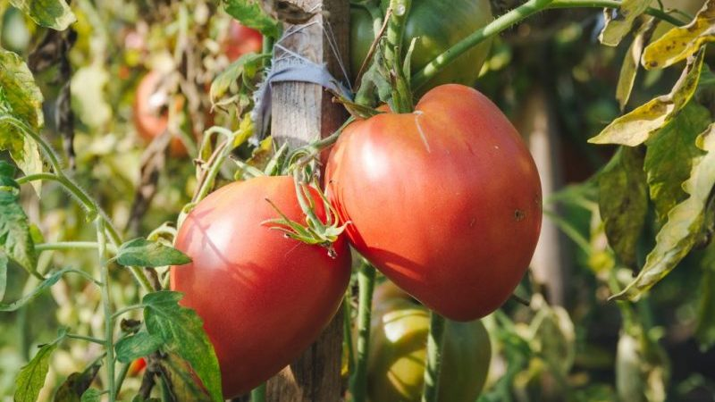 Impariamo da residenti estivi esperti come pizzicare correttamente i pomodori: un'analisi delle sfumature e una descrizione passo passo del processo