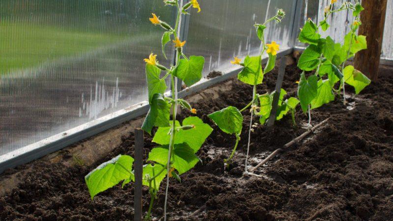 Come tagliare correttamente le foglie dei cetrioli nella serra e dovrebbe essere fatto?