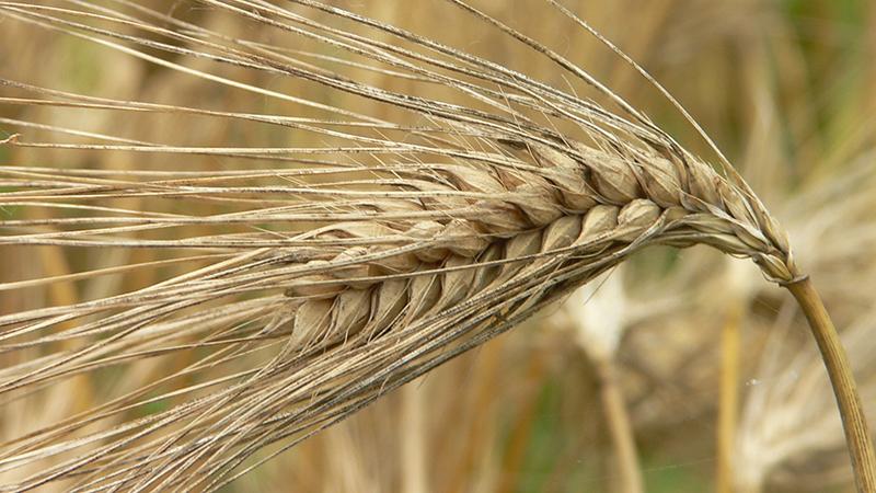 Quelles céréales sont fabriquées à partir d'orge et les propriétés bénéfiques des céréales