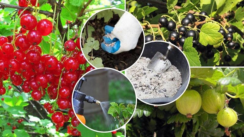 Comment bien nourrir les groseilles et les groseilles au printemps