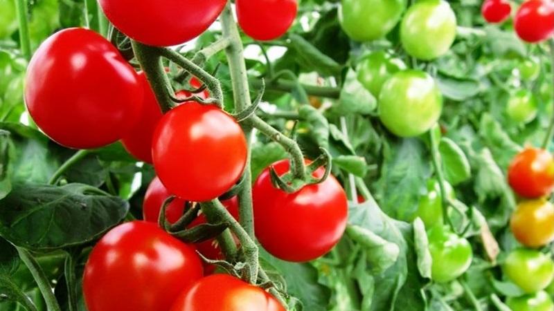 Variétés de variétés et hybrides de tomates et leurs caractéristiques
