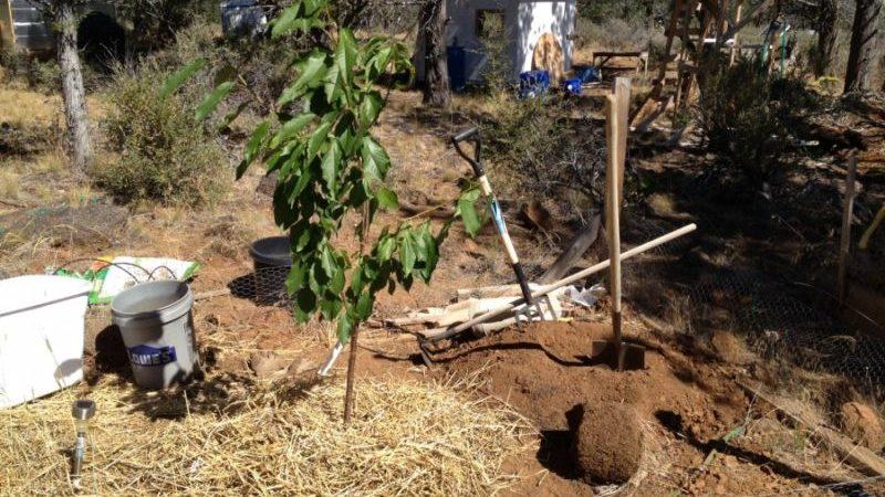 Est-il possible de planter des cerises en juillet et comment le faire correctement: instructions et conseils de jardiniers expérimentés