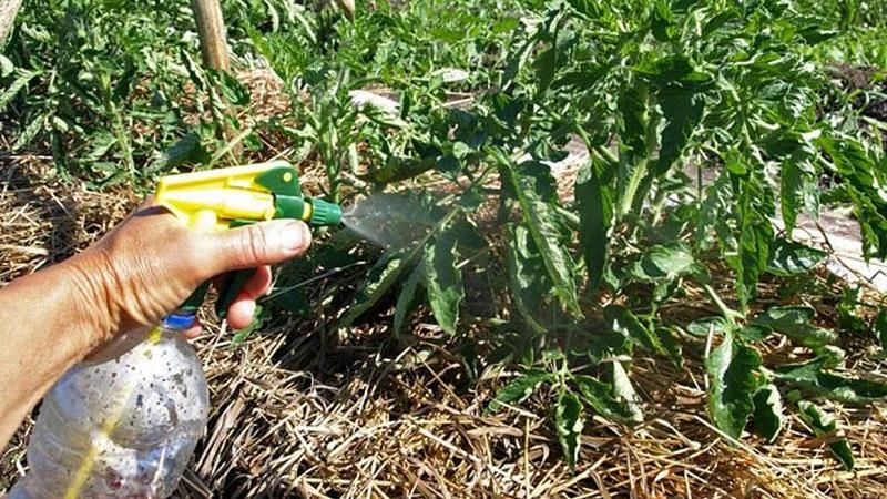 Istruzioni per la lavorazione dei pomodori della peronospora con iodio e acido borico: combattiamo la malattia in modo rapido ed efficace