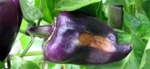 Les meilleurs moyens de traiter les maladies des aubergines: photo et description